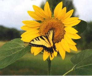 Beautiful-Sunflower-Picture-2