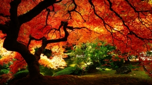 maple-in-autumn-1920x1080-wallpaper-3470